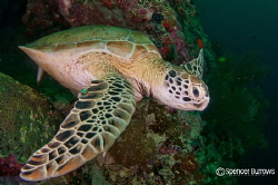 Turtle on Sipadan Island by Spencer Burrows 